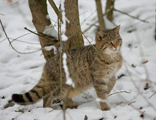 Die Nadel im Heuhaufen?  Mit Lockstöcken auf der Suche nach der Wildkatze im Odenwald